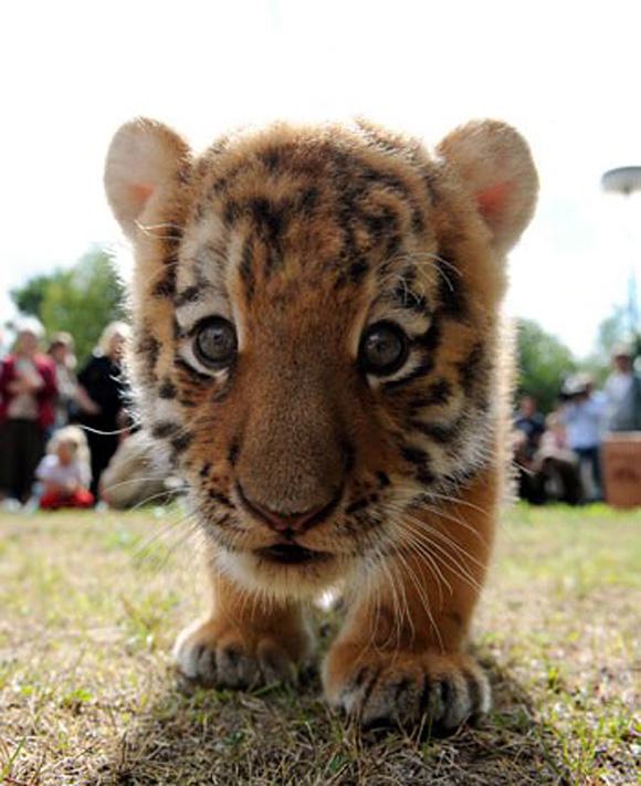 64739-cute-baby-tiger